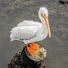 Bird on a Rock by Richard Michael Lingo - Animals Birds ( rock, pelican, animals, texas, birds )