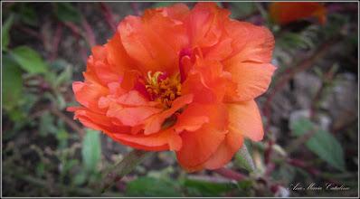 Photo: Floarea de piatra (Portulaca) - de pe Str. Trandafirilor - 2016.09.24
