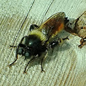 Bumblebee robberfly