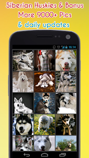 Sibiřský husky Wallpaper - náhled