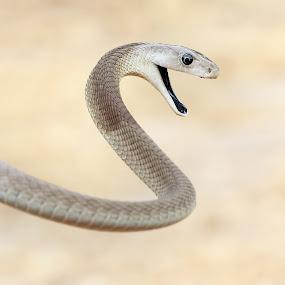 Black mamba ! by Sue Green - Animals Reptiles ( south africa. wilderness safari.deadly companion.,  )
