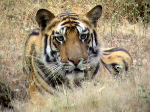 Photo: Philip has again travelled to India's wildlife parks and has these lovely photos of 2010