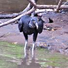 Black Vulture