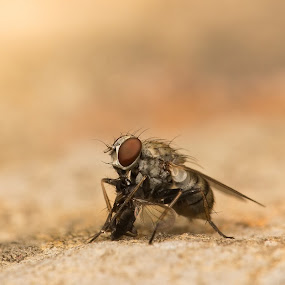 Hunter Fly by AhMet özKan - Animals Insects & Spiders ( hunter, fly, hunt, canibal )