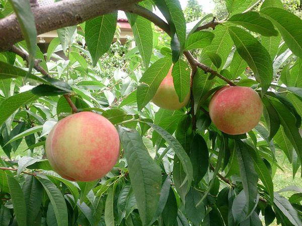 梨山水蜜桃