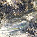 Mediterranean rainbow wrasse