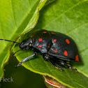 Shield-backed Bug