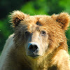 Brown Bear(Grizzly)