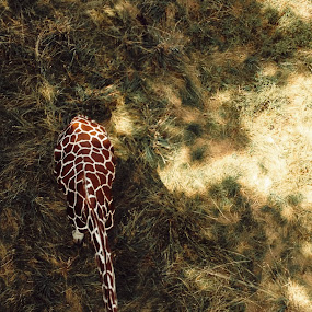 From Above  by Chris Timmerman - Animals Other ( zoo, giraffe, composition, iphone, animal,  )