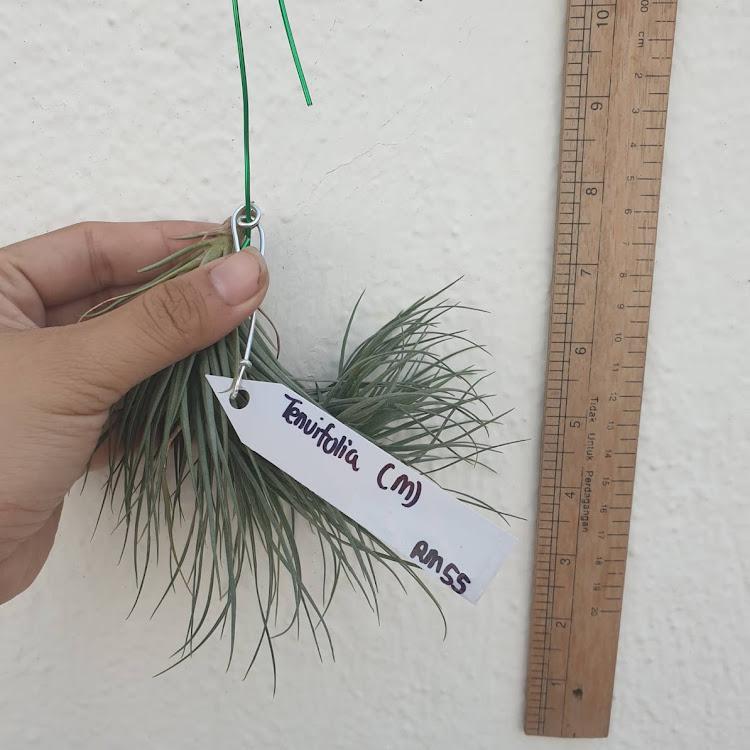 Tillandsia Tenuifolia Bush (M)