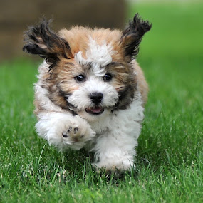 Running Pup by Tom Vogt - Animals - Dogs Puppies ( canine, grass, puppy, shih tzu, running, animal, motion, animals in motion, pwc76, , pwc84, baby, young, #GARYFONGPETS, #SHOWUSYOURPETS )