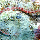 Ocellated pipefish