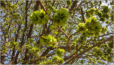 Photo: Ulm (Ulmus) - in Turda, Parcul Teilor - 2019.04.01