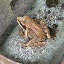 Agile frog, Springfrosch