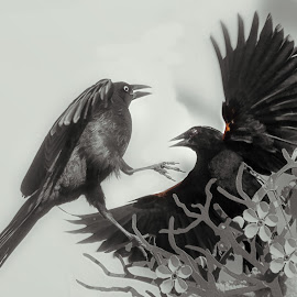 Confrontation by Sheen Deis - Black & White Animals ( black and white, action, grackles, blackbirds, birds )