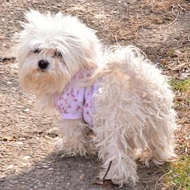 my sdmall white dog by LADOCKi Elvira - Animals - Dogs Puppies ( pets, aniumals, white, dog )