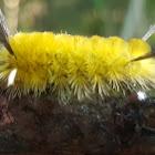 Banded Tussock Moth (larva)