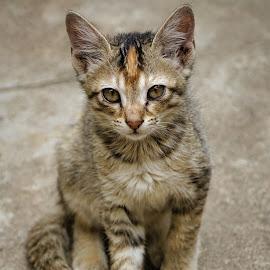 Pet Potrait by Mallikarjun Nath - Animals - Cats Portraits ( kitten, beauty, cat, portait, pet )