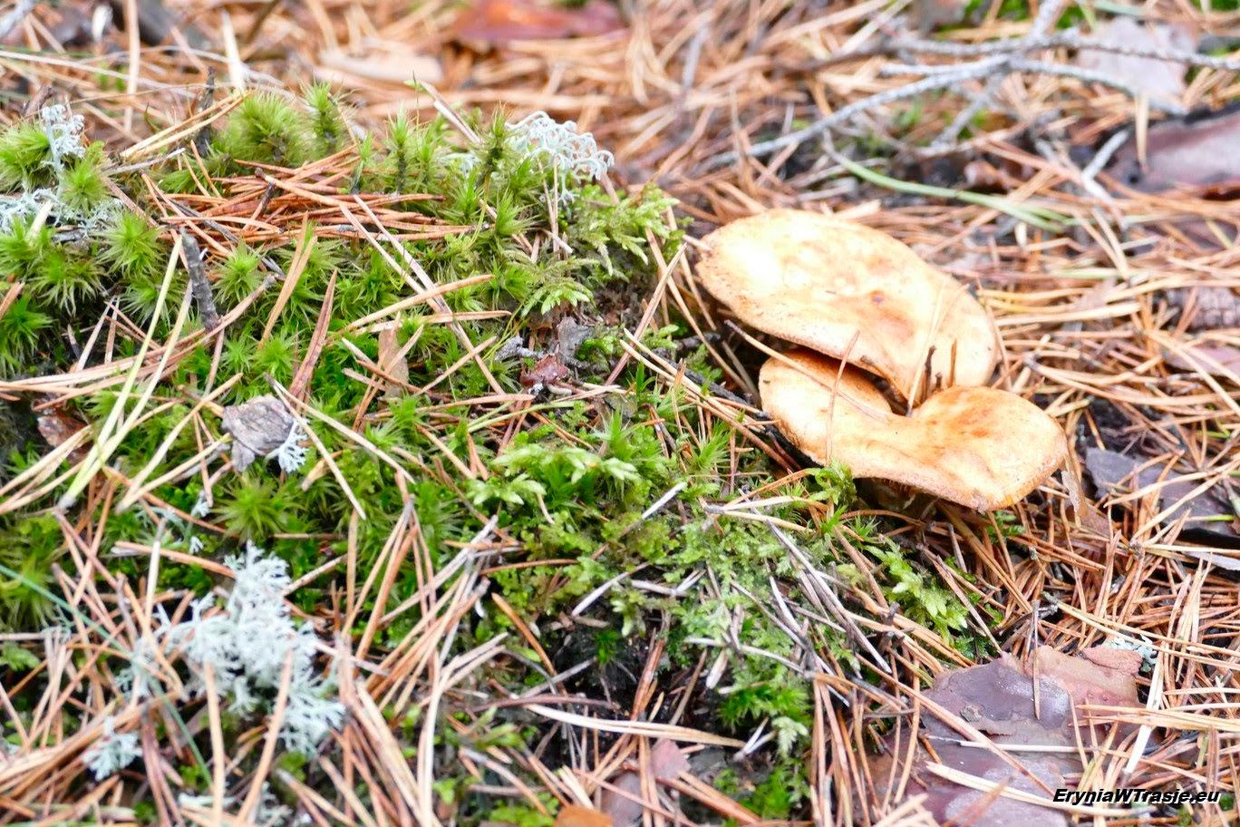 patrz: Kaszubskie grzyby