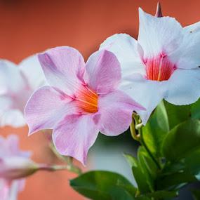 Mandevilla sanderi by Mats Andersson - Flowers Flower Gardens ( colour, orange, colorful, pink, mandevilla sanderi, garden, flower )