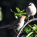 White-crowned Sparrow (adult & juvenile)