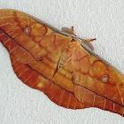 Japanese silk moth
