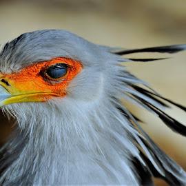 Secretary Bird by Tomasz Budziak - Animals Birds ( animals, birds )