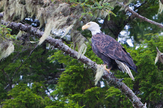 Photo: It's not raining quite so much, so this eagle looks a little less annoyed.