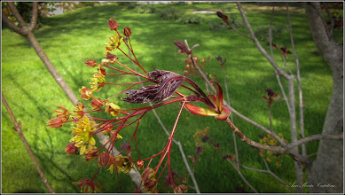 Photo: Arțar roșu (Acer palmatum atropurpurea) - din Turda, Piata 1 Decembrie 1918, spatiu verde - 2019.04.12