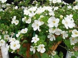 :Plant Images:Bacopa.jpg