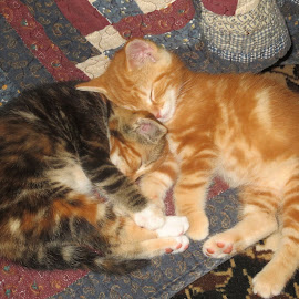 Asleep by Marcia Taylor - Animals - Cats Kittens (  )