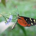 Mechanitis / Orange-spotted tiger clearwing