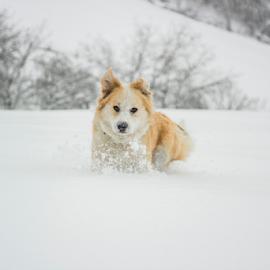 Running through snow by Nermin Huskić - Animals - Dogs Running ( outdoor, outdoors, nature, snow, winter, season, dog playing, dogs running, dog, snowy, dog portrait,  )