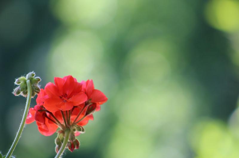 Geranio in fiore di LiciaG