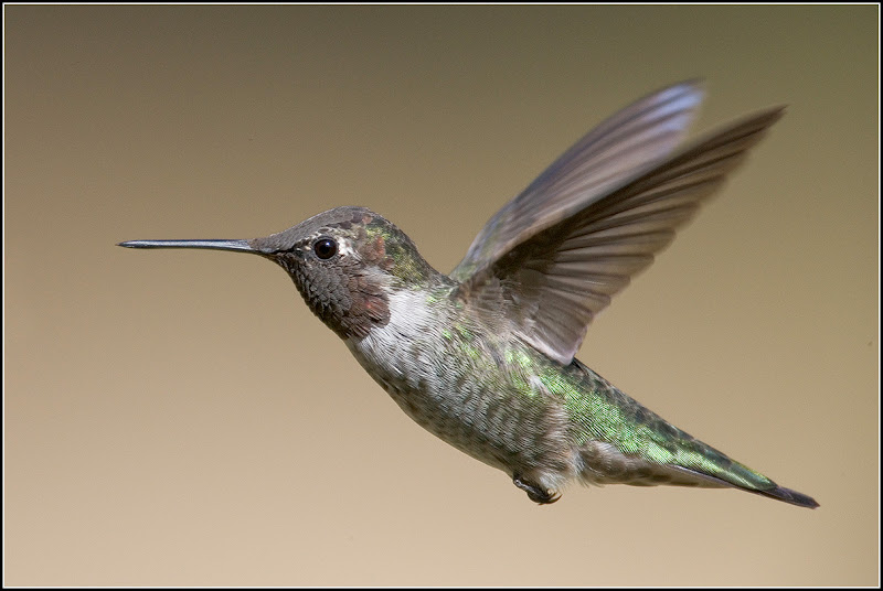 Photo: Keep Chasing Your Dreams  And someday, they'll come true.  Here's an Anna's hummingbird (Calypte anna) in flight. I hope you enjoy it.  Edited to add:  #BirdPoker Theme: Hummingbirds Curated by +Phil Armishaw