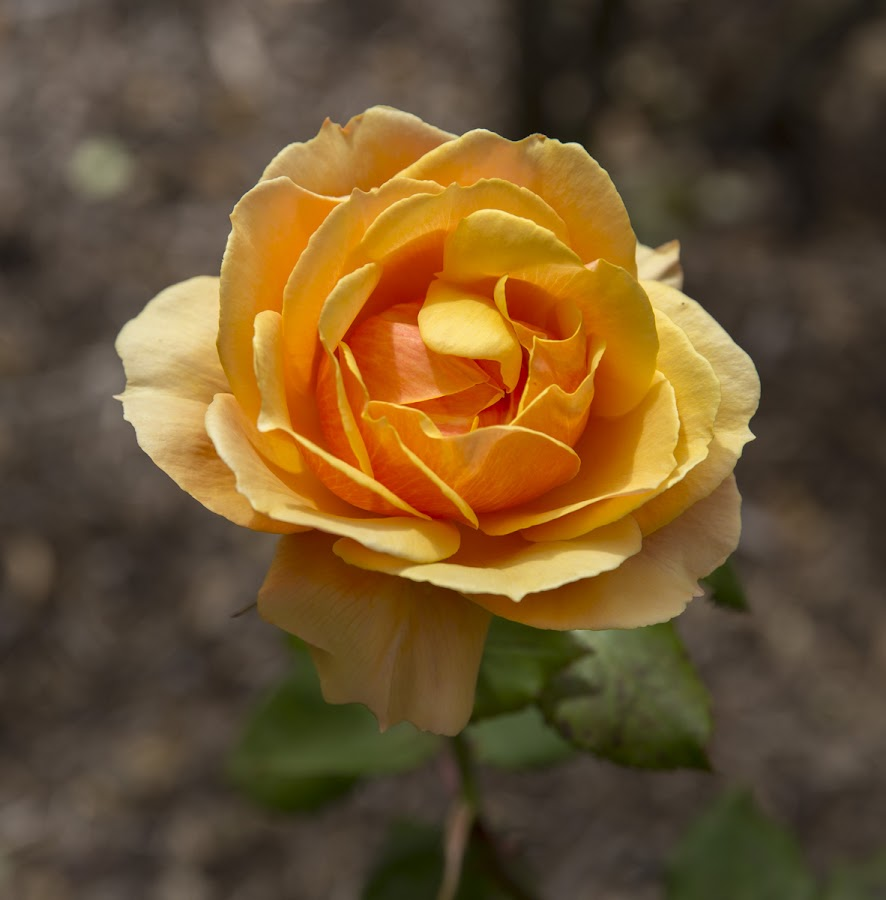 An Orange Rose by Janet Marsh - Flowers Single Flower ( rose, yellow,  )