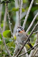 Photo: Rufous-collared Sparrow @ Savegre Lodge, San Gerardo de Dota