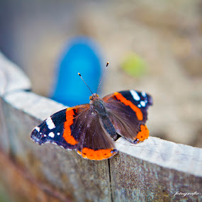 a butterfly  by Lucian Petrea - Animals Insects & Spiders ( pwcopendoors )