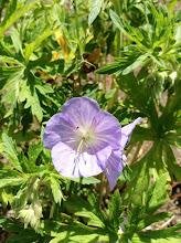 Photo: Wild Geranium: Geranium maculatum