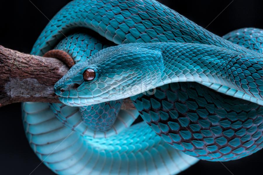 Blue White-lipped Pit Viper | Reptiles | Animals !!! | Pixoto