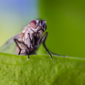 Fly on a leaf by Andrej Folo - Animals Insects & Spiders ( macros, macro photography, wildlife, nature close up, insect, close up, macro shot, close, macro art, macro, nature, fly, focus, dof, eye, animal,  )