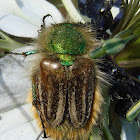 Bumblebee scarab beetle