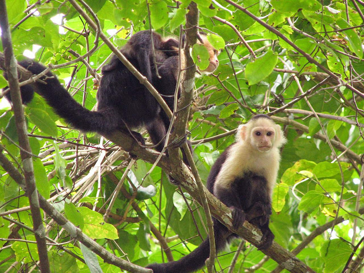 Longtail monkeys in the trees of Puerto Limon, Costa Rica.