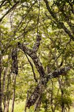 Photo: A piece of tree hanging in the air sustained by Diplorhynchus branches; Um pedaço de árvore suspenso no ar preso por ramos de Diplorhynchus