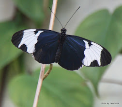 Photo: (Year 3) Day 23 - Butterfly in the Californian Academy of Sciences Rainforest #3