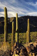 Photo: Saguaro Cactus, Sierra Estrella Wilderness, Arizona