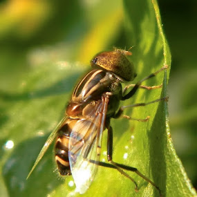 A Hoverfly by Amit Naskar - Animals Insects & Spiders