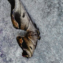 Romulus Moth / Mariposa-Romulus
