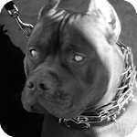 Pitbull Pack 5 Dog Wallpaper