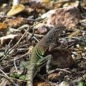 Southwestern Earless Lizard
